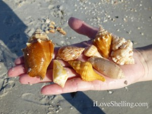 Judy B Sanibel Six shells