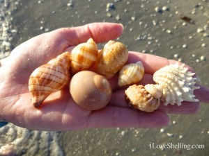 Judy B sanibel seashells