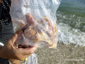 Lynn seashells sanibel