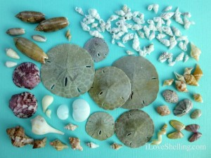 sand dollars and seashells sanibel