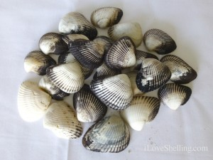 Ponderous ark shells sanibel shellinger hunt