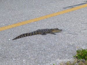 baby alligator bike path sanibel
