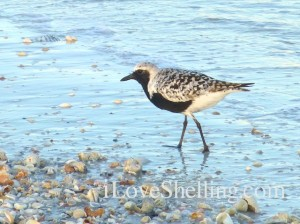 black-bellied plover sw florida