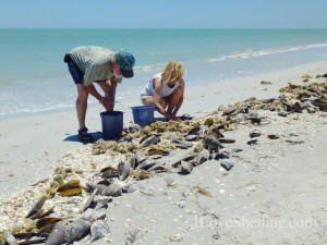 collecting shells sanibel florida shellabaloo