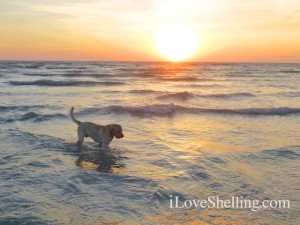 dog in sanibel sunset
