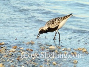 florida Black bellied plover eating