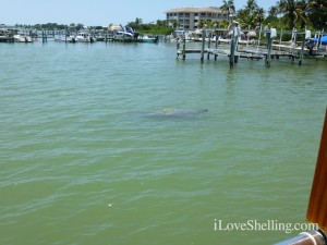 manatee captiva cruise shelling