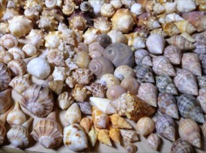 sanibel shells wendy gerry iLS