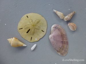 seashell favorites
