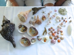 seashells found sw florida shellabaloo 2