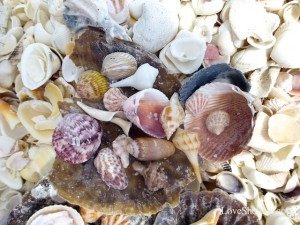 seashells from florida may iLS