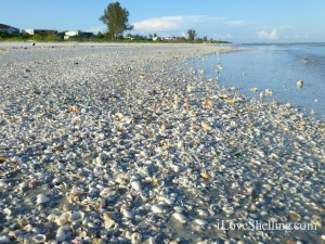 seashells on sanibel island beach
