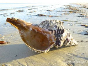 shell find Sanibel shellabaloo