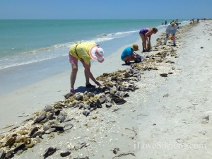 shelling sanibel shellabaloo