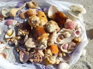 shells from Sanibel Florida