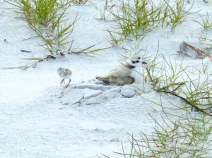 snowy plover mom baby