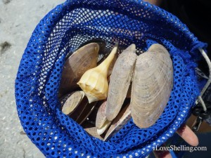 sunray venus whelk shells cayo shellabaloo