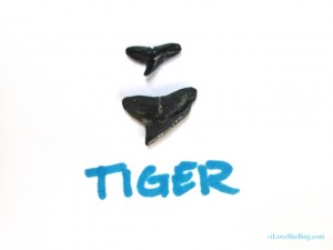 tiger shark fossil teeth