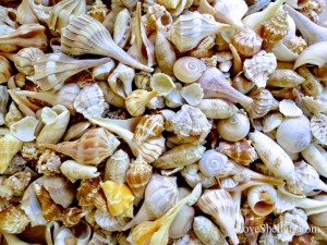 6 types of Seashells from Sanibel