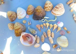 Loree seashells cayo costa florida