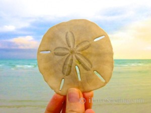 Sand dollar sanibel