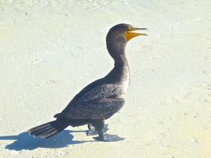 cormorant bird sanibel pier