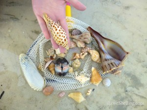 junonia sea shell whelk storm andrea