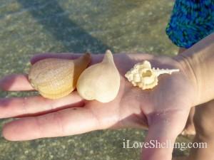 paper fig shells cabarets murex