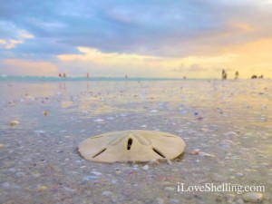 sand dollar background