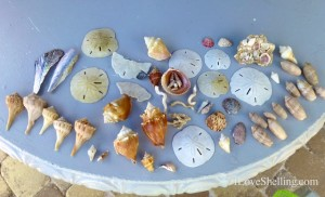 sand dollars shells cayo costa florida