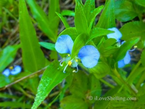 sanibel dayflower by beach