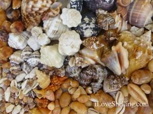 CARIBBEAN seashells
