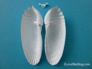 Cyrtopleura costata Angel Wing interior