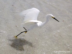 snowy egret ft myers beach florida
