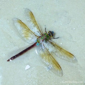 beached dragonfly myers florida