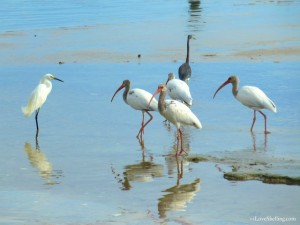 birds of Sanibel Fort myers sw Florida