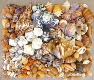 caribbean seashell species Guantanamo bay cuba