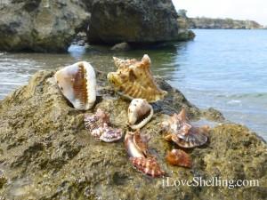 caribbean seashells of guantanamo bay cuba