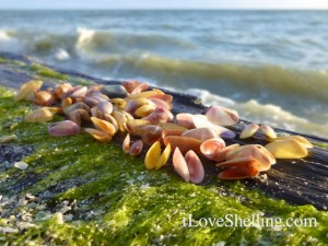 coquina seashells on wood bulkhead pier sanibel