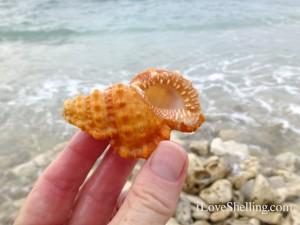 cuban frog shell guantanamo cuba