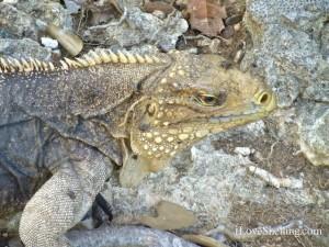 iguana guantanamo bay cuba gtmo