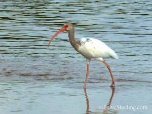 juvenile ibis bunche beach fort myers florida
