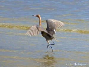 reddish egret bunche beach fort myers