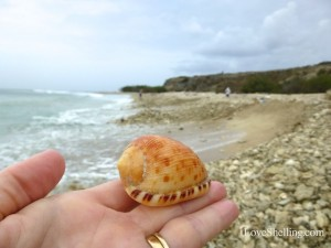 reticulated cowrie helmet seashell cuba