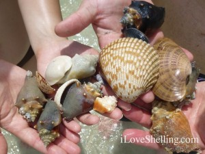 seashells found ft myers beach florida july
