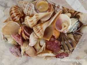 seashells in plastic bag sanibel island  florida