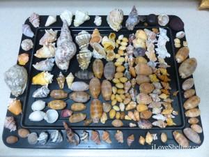 seashells of caribbean cuba