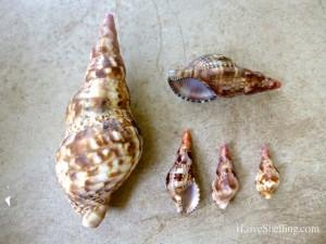 triton trumpet shell cuba GTMO