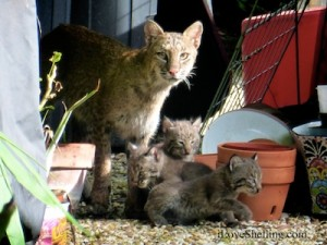 Sanibel Bobcat with 3 kittens in Florida  backyard