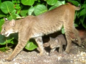 adult mother bobcat with baby kitten sanibel island florida